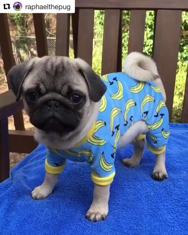 Pin By Alyssa On Pugs Baby Pugs Cute Baby Animals Cute