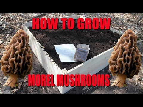 How to Grow Morel Mushrooms!  At HOME! - YouTube