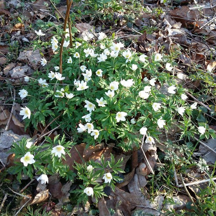 W lesie...wiosną ...zapach cudowny