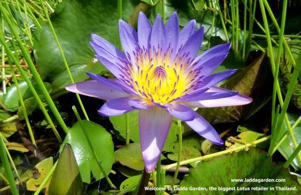 siam mardsawadee @ ladda, laddagarden,บัว,Water Lily,Nymphaea,ดอกบัว