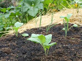 Growing and Cooking Collard Greens, learn how to...
