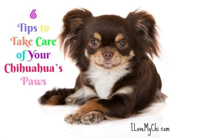 6 Tips To Take Care Of Your Chihuahua S Paws Chihuahua