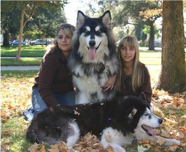 Giant Malamutes-They look like wolves
