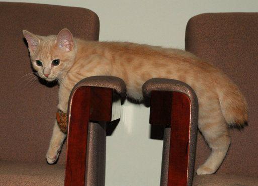 El gato Manx