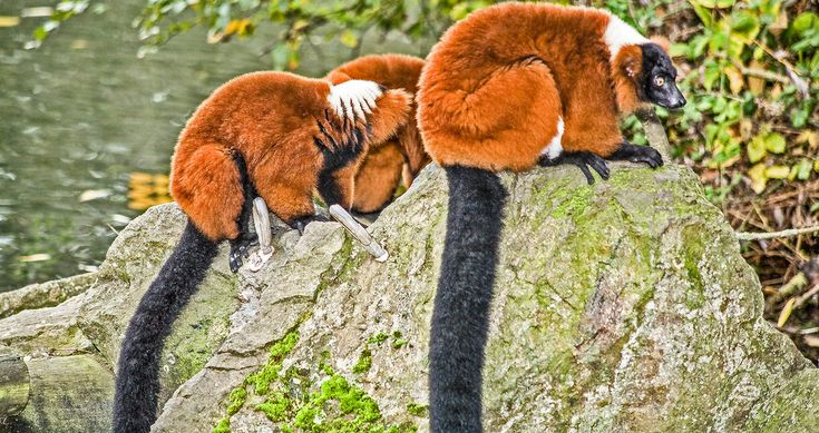 The red ruffed lemur (Varecia rubra) is one of two species in the genus Varecia, the ruffed lemurs; the other is the black-and-white ruffed lemur (Varecia variegata). Like all lemurs, it is native to Madagascar and occurs only in the rainforests of Masoala, in the northeast of the island.