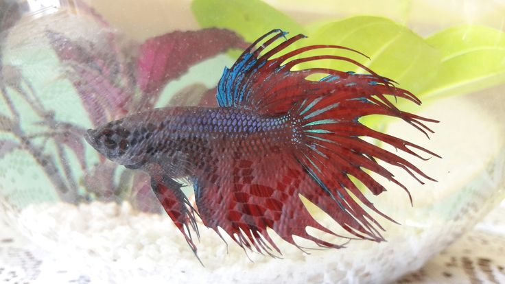 Meet my Beta fish Frankie❤