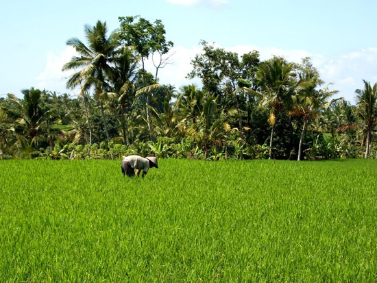 Fotografie: Castriota Scanderbeg M. Chiara - #Bali, Risaie - Lonely Planet Italia: Lonely Planet