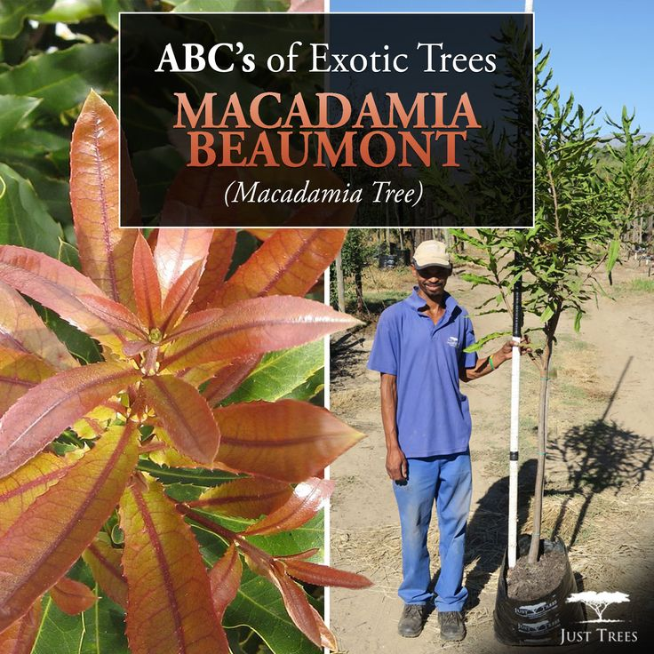 Continuing with our ABC's of Exotic Trees is the Macadamia Beaumont (Macadamia Tree). This tree is native to Australia and is used commercially for its fruit, the macadamia nut. This evergreen is slow growing and will sit pretty in your yard anywhere from 2 to 12 meters tall. Grow it as an ornamental plant in full sun with fertile, well-drained soil to enjoy its bright pink flowers! We currently have 40L and 200L  in stock. Find more information at justtrees.co.za/.