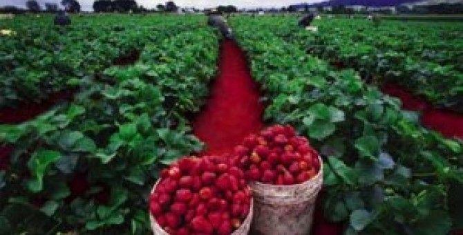 Strawberry Ciwidey garden in indonesia