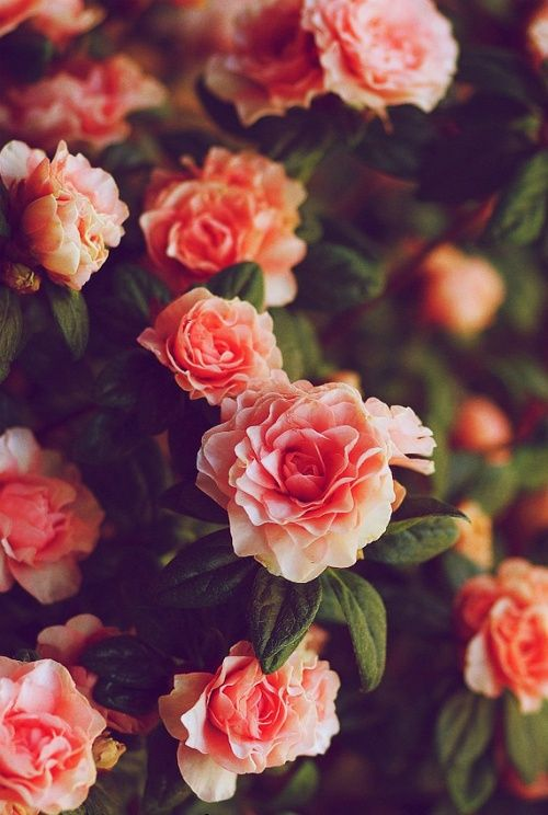 La Vie en Rose #PiagetRose #pink #beautiful