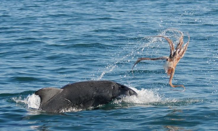 """#Bunbury #dolphins chow down on clingy #octopus 