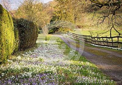 An abundance of snowdrops Galanthus and Crocuses  growing in the grass verge of a country lane.