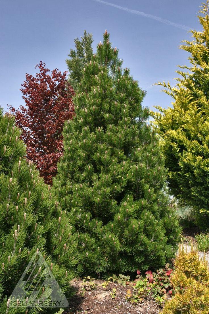 Pinus leucodermis (heldreichii) ' Compact Gem ' Dwarf ...