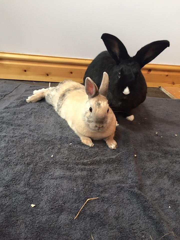 Kirsty Humphreys says  Woody and Buzz  Sadly Woody has passed away so Kirsty is thinking about Buzz getting a new friend  #everybunnyneedssomebunnytolove