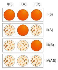 Группы крови (1, 2, 3, 4, редкие) и резус-фактор (положительный, отрицательный) - анализы на определение, таблицы совместимости при переливании крови, какая группа крови и резус-фактор может быть у ребёнка (таблицы), как избежать резус-конфликта и др.