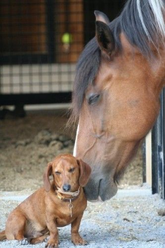 A dachshund and his horse...love is love.