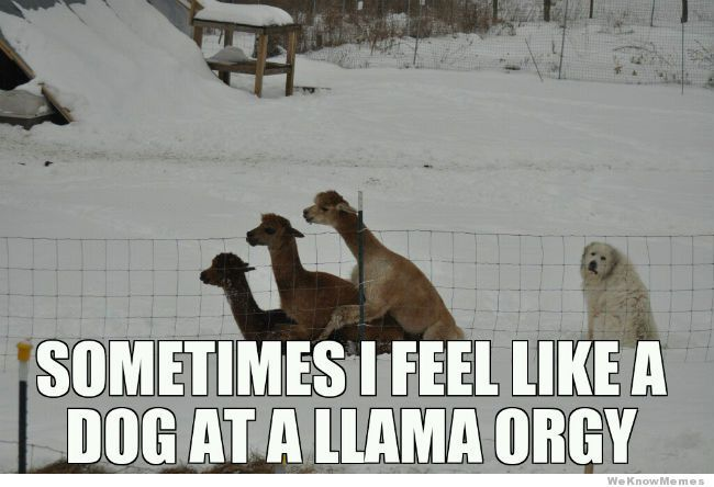 Can't stop laughing!! Its like WTH? WeKnowMemes - http://weknowmemes.com/2013/01/dog-at-a-llama-orgy/