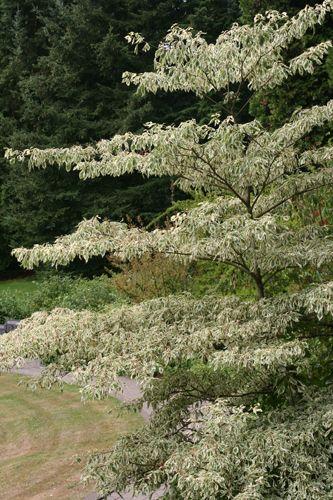 Cornus controversa'Variegata' Variegated Giant Dogwood or wedding cake tree