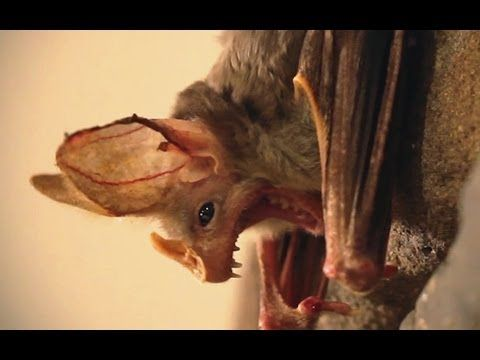 Are You Afraid Of Bats? - Dispelling the scary myths with Patrick the Australian Ghost Bat - Wakaleo YouTube