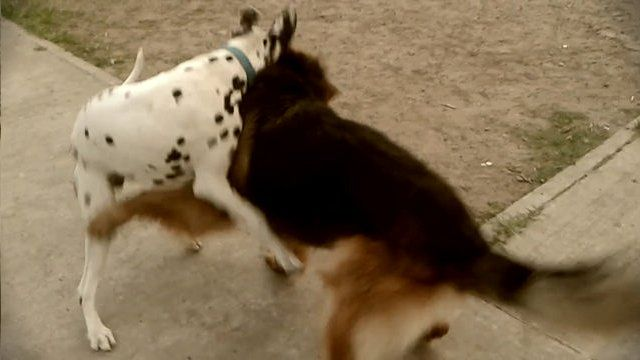 Danko and Pongo  playfully December 22, 2014 Danko 16 months old