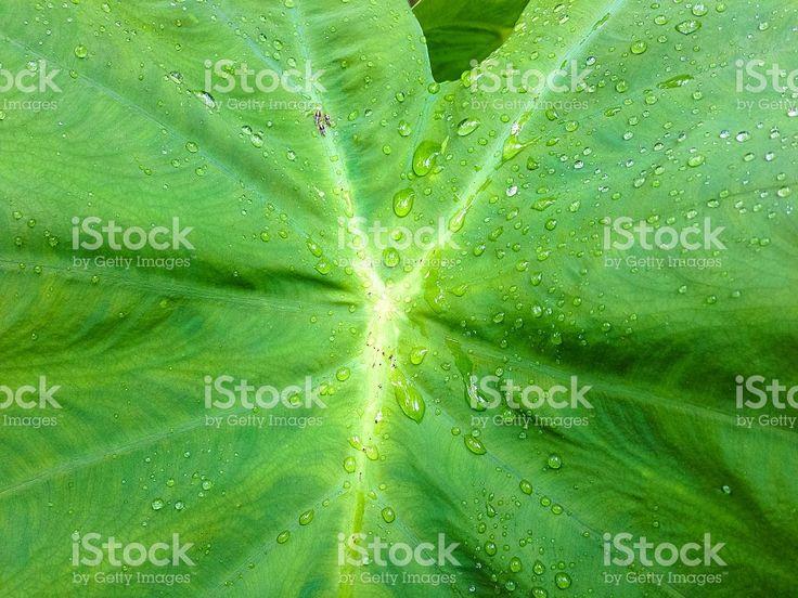 Taro leaf royalty-free stock photo