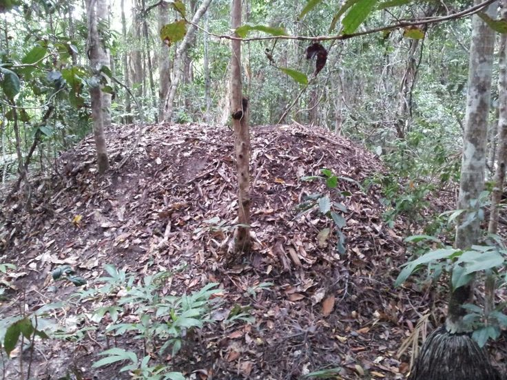 This mound has been created by Brush Turkeys. It is almost 2 metres (6 feet) high.