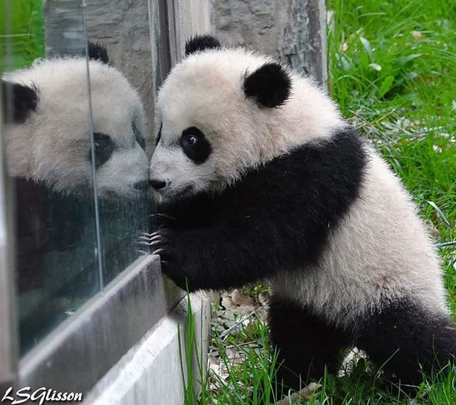Who's that panda in the window? Bei Bei admiring his reflection.