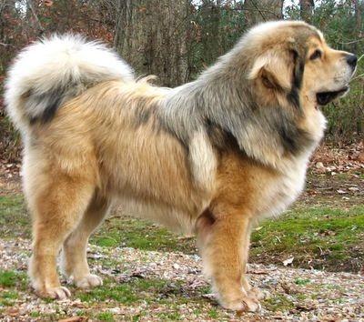 tibetian mastiff..big fluff  ;-)