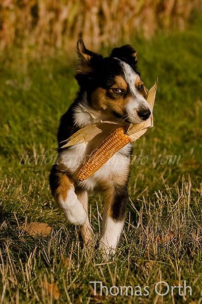 Herbst, Hund, Mais