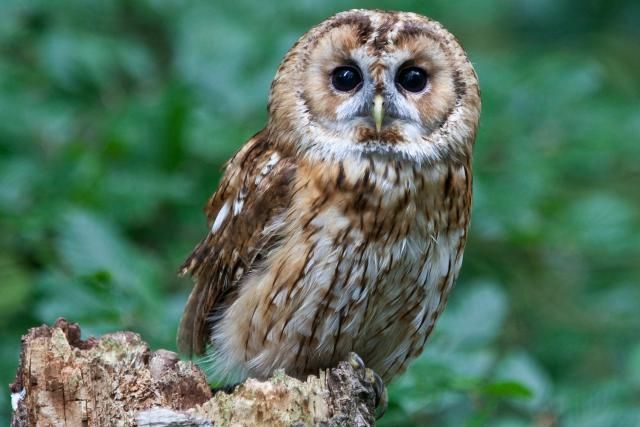 A-Z list of owl species, with notes about which species are threatened or endangered. Which owls have you seen?