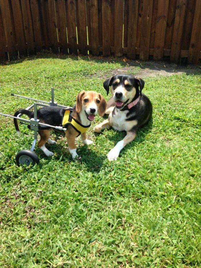 ブリーダーの責任放棄により足の不自由な仔犬が救助。今度は誰かの特別な存在に…! - Spotlight (スポットライト)