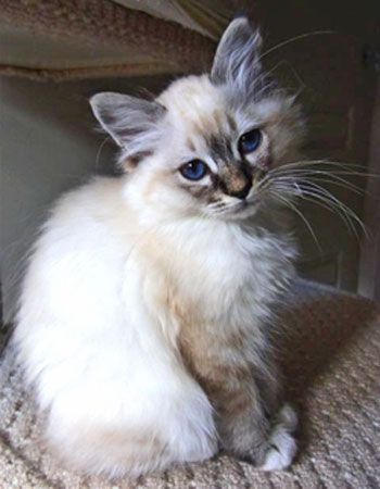 Seal tabby point Birman ... just like my baby, Dewey!