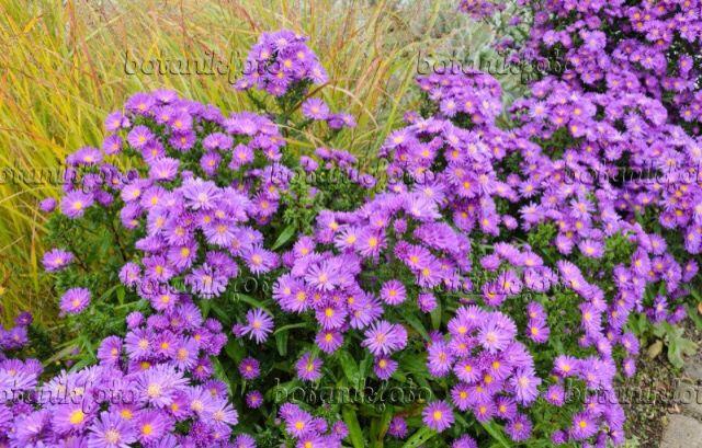 13 best Pflanzen images on Pinterest Plants, Balcony and Garden - gartenpflanzen winterhart immergrun