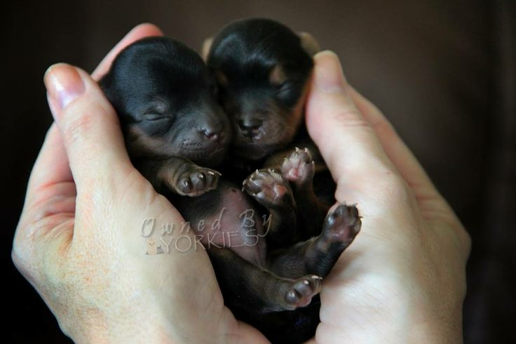 Tiny just born Yorkie babies .. OooooOoooo | Animals ...