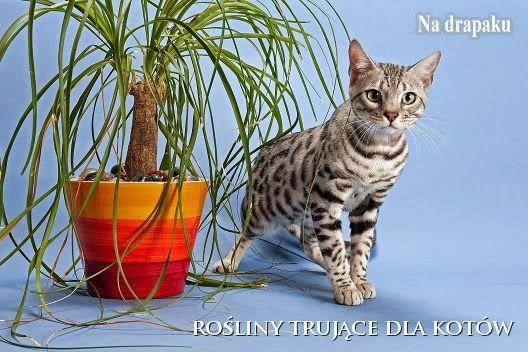Doniczkowe rośliny trujące dla kotów