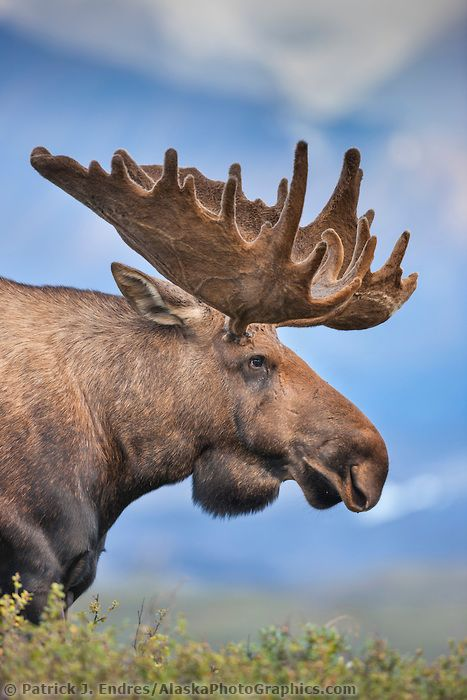 Portrait of a large bull moose in velvet antlers standing on the tundra in…
