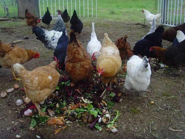 10 Best and Healthy Treats for Chickens -the treats chickens can eat