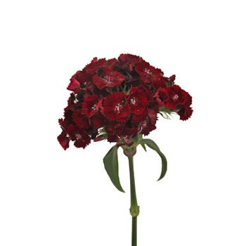 Burgundy Dianthus Flower (year round) 10 bunches/100 stems for $110 20 bunches/200 stems for $190