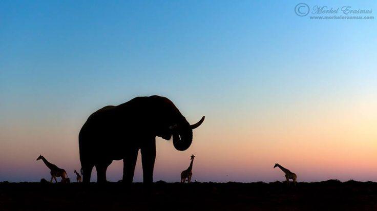 """""""Etosha Sunset"""" - Elephant and Giraffes Etosha National Park, Namibia"""