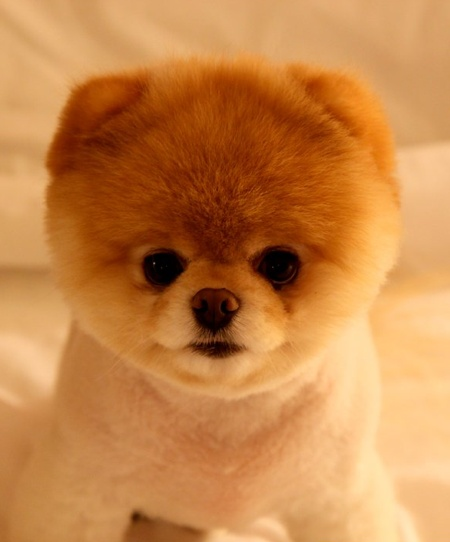 I don't normally like little puppies, but he's SO cute! Boo the