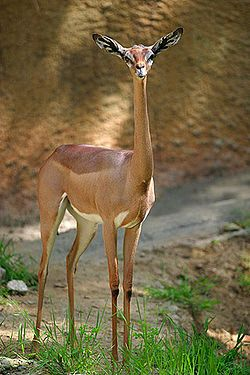 The gerenuk (Litocranius walleri), also known as the Waller's gazelle, is a long-necked species of antelope found in dry bushy scrub and steppe in East Africa, from Somalia and eastern Ethiopia through northern and eastern Kenya to northeastern Tanzania.