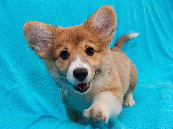 : Funny Corgi Pictures, Cute Corgi, Puppies Pictures, Little Puppies, Small Dogs, Corgi Puppies, Magic Places, Pembroke Welsh Corgi, Pet Corner