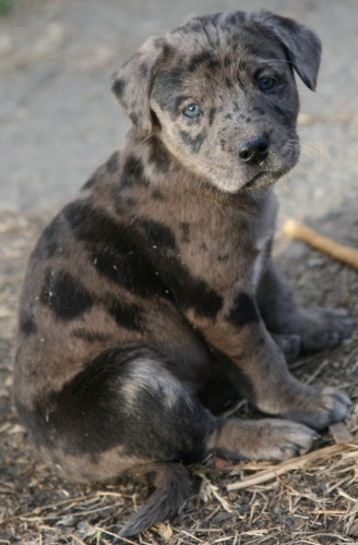If I ever get another puppy it will definitely be a catahoula leopard dog!