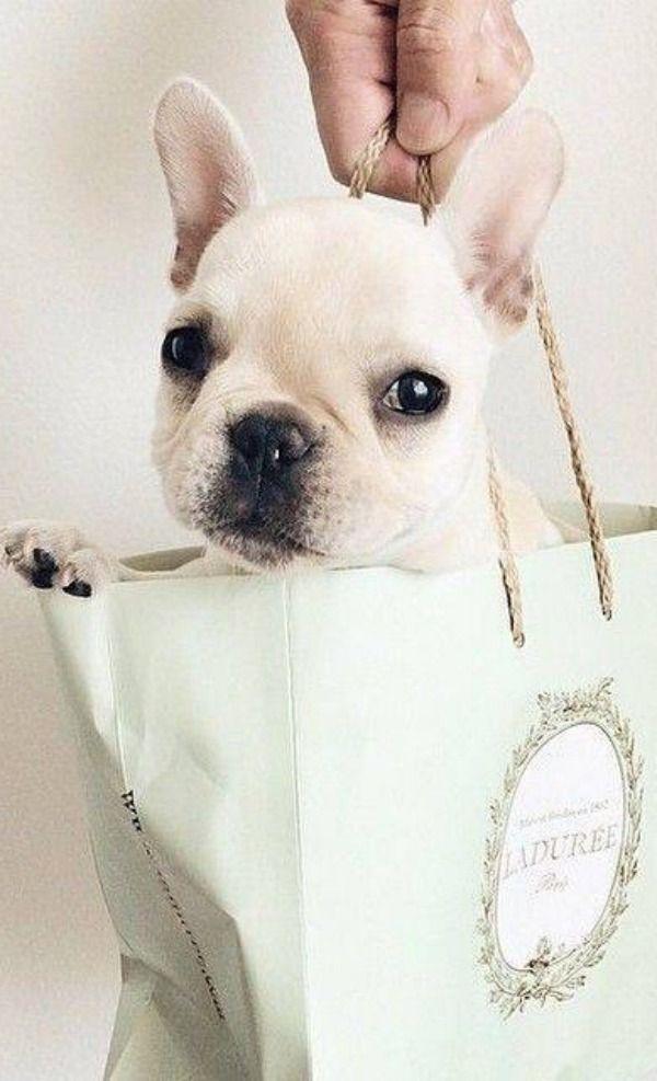 Ladurée puppy ✿⊱╮