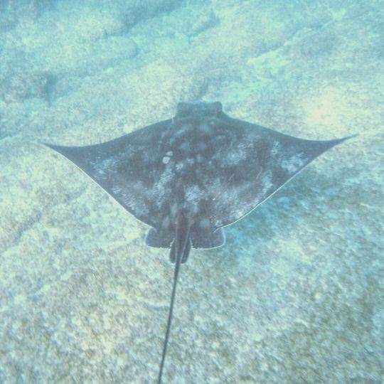 Photo © Moana Matron Designs - This eagle ray was photographed on my underwater Canon Powershot at Goat Island Marine Reserve, New Zealand.  They are prevalent here, as are larger stingrays.  The area is completely devoid of fishing, so the marine life there thrives and grows to good size.  I would highly recommend Goat Island Marine Reserve as a dive / snorkel / freedive spot for anyone with a love of the sea.