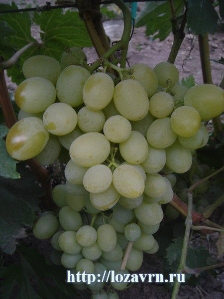 Богатяновский-г.ф.Крайнова В.Н. - стр. 1 - сорта винограда на Б - ВИНОГРАДНАЯ ЛОЗА