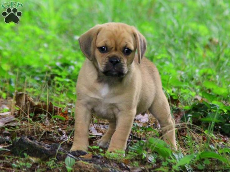 Puggle Puppies For Sale In PA!