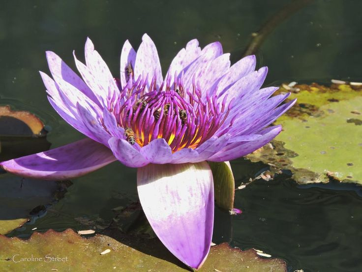 Water Lily and Bees by carolinestreet