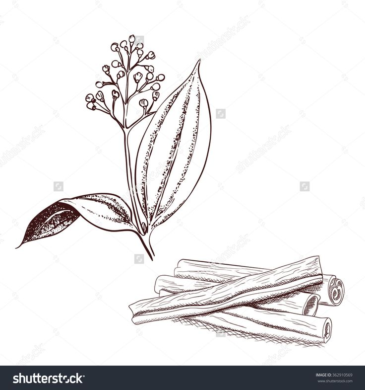 Cinnamon Tree And Cinnamon Bark Vintage Engraved Illustration, Hand Drawn, Sketch, Isolated On White Background, Vector Illustration - 362910569 : Shutterstock