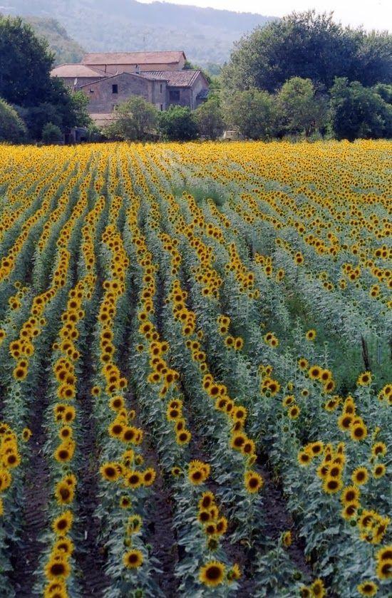 Campo de girassois em Siena, provincia de Siena, regiao da Toscana, Italia.
